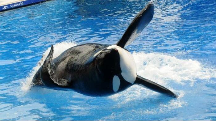 Killer whale eats man seaworld